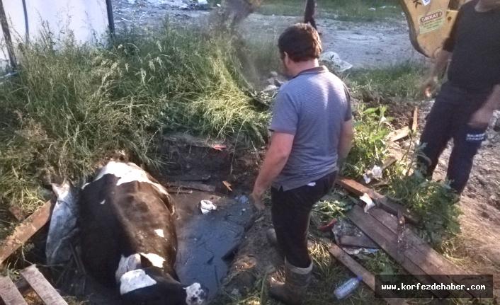 Foseptiğe düşen inek kurtarıldı