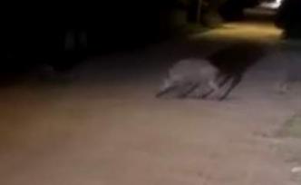 Edremit'te domuzlar yiyecek aramaya devam ediyor.